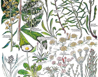Hemp Agrimony, Golden Rod, Daisy, Sea Aster, Goldilocks - 1965 British Flowers Vintage Book Plate  P44