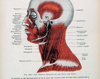 Human Anatomy - Deeper Muscles of the Face and Neck - 1933 Human Anatomy Book Page