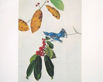 Cerulean Warbler - Audubon Bird Print - 1966 Vintage Book Page - 13 x 11