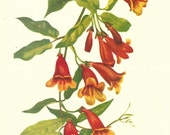 Flower Print - Cross Vine - Vintage Wild Flower Print - Botanicals- Wild Flowers of America - Trumpet Creeper - Mary V Walcott