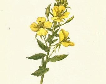 Flower Print - Primrose - Vintage Wild Flower Print - Botanical Book Print - Wild Flowers of America - Silverberry - Mary Vaux Walcott