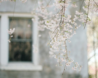 Behind these windows, Blue house Pink blossom sakura spring Fine art photograph, archival print 8x12