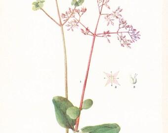 1917 Botany Print - Crassula Quadrifida - Vintage Antique Flower Art Illustration Book Plate for Framing