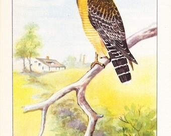 1926 Bird Print - Red Shouldered Hawk - Vintage Antique Natural History Home Decor Art Illustration for Framing