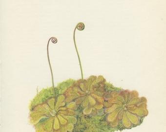 Sundew, Vintage Botanical Print, Youth Wort, Home Decor, Indoor Plant, Flower Art, Flower Illustration, Country Cottage Decor, 1968/63