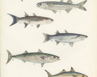 Sharp Headed Wrasse, Slender Razorfish, Sand Wrasse, Mackerel, Vintage Fish Print 68, 1951, Margaret Smith, Ichthyology, Natural History