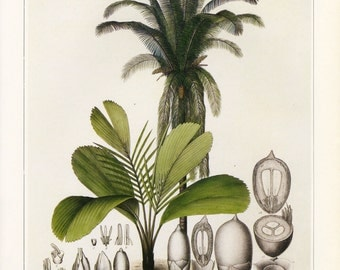 Vintage Botanical Print Palm Book Plate Palm SALE~~Buy 3, get 1 Free