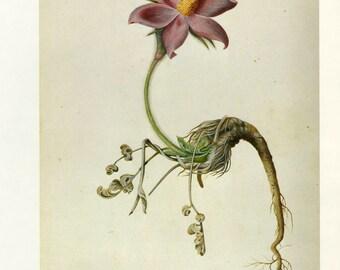Anemone by Ehret Vintage Book Plate  Buy 3, get 1 Free