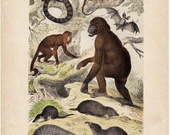 1880 Antique WILD BEAST print, hand colored, apes, simian, monkey, orang-outang, bat, lemur, mole, porcupine, original antique