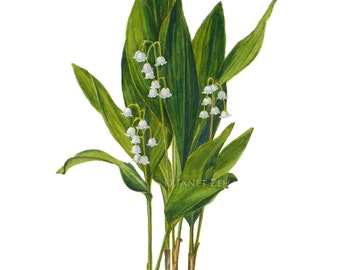 Lily of the Valley Botanical Print Convallaria majalis Floral Wall Art by Janet Zeh Original Art