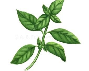 "Basil Art Print - Fine Art Reproduction of Original Basil Plant Botanical Illustration, Green Kitchen Decor Herb Art Giclee Print 11"" X 8.5"""