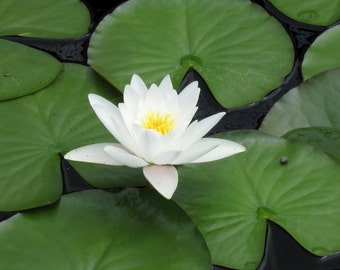 White Water Lily 8X10 Photo, Lotus Flower Print, Modern Wall Art, Zen Art, White Flower Photo, Water Lilies, Lily Pads, Fine Art Photography