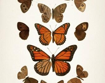 Monarch Butterfly (Danaus plexippus) : Fine art print of a vintage natural history antique illustration, 8x10 11x14 12x18 13x19 BU-01