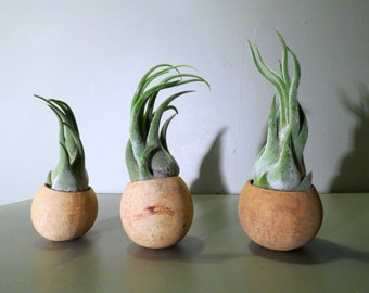 Set of 3 Natural Seed Pod Containers with Tillandsia Seleriana Air Plants - Fast FREE Shipping - 30 Day Guarantee - Air Plant Holder