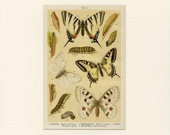 1896 Matted Antique Butterfly Print Original German Chromolithograph Butterflies Caterpillar Science Research Christmas Gift Spring Decor