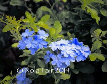 Original Fine Art Photography; Periwinkle Plumbago Flower Photograph; Blue Purple Flower; Flower Photograph; Nature; Landscape