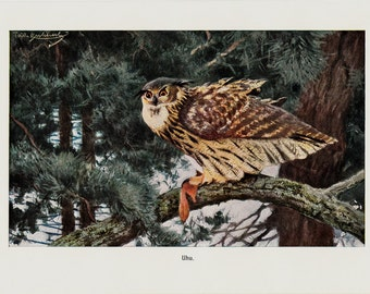 1910  Antique owl print