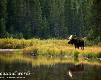 bull moose - photographic print
