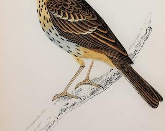 Tree Pipit. Original 1800s Antique Bird Print by Reverend F. O. Morris