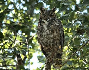Bird Photography Great Horned Owl Photograph Owl Print Nature Photography