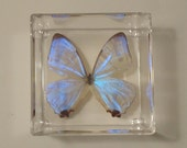 butterfly display, real framed butterflies, mounted butterflies, butterfly art,  real butterfly art, real butterflies in acrylic cases
