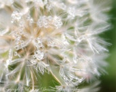 "Dandelion photography, Dewdrops, 8x10, 11x14, 16x20, Close up, Nature photo, Dreamy, Green, White, Sparkling, ""Dandelion Dewdrops"""