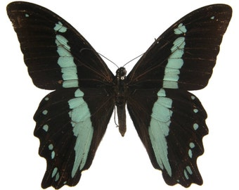 Real Papilio nireus Butterfly, spread for your project or laminated or unmounted