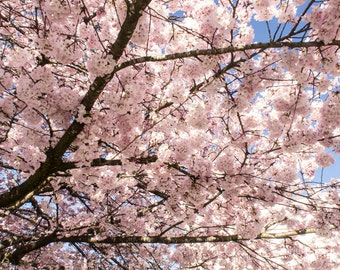 Photography  Sakura 2 //   INSTANT download / wall art / home decor  / a pink dream