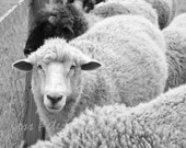 Sheep photography. Black and White Decor. Maine Neutral home decor. Nature farm animal Nursery Wall Art Wooly Sheep Print 5x7 matted, 8x10