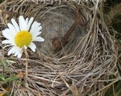 Daisy, Vintage Skeleton Key, in Birds Nest, White, Natural,Yellow, Brown, Taken in the woods of Maine, Rustic Shabby Chic, fpoe