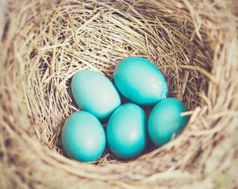 Nature Photography -  Robins egg nest, blue eggs, bird nest, audobon print