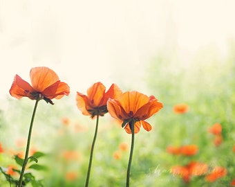 poppy photography / poppies, nature photography, botanical photography, flower, summer, orange, emerald green / three poppies / fine art