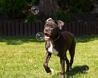 Puppy Playing with Bubbles Photo - 8x10 Funny Boxer Dog Photography Art Print