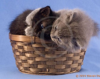 Cute Kittens Hugging, Snuggling Cats in a Basket, Kitten Art Print