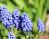 36 grape hyacinth bulbs