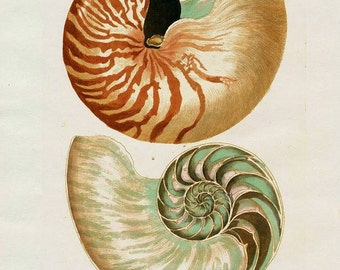 Digital Image Instant Download  Knorr Teal Taupe Nautilus Sea Shell 8 x 10  You Print Digital Image