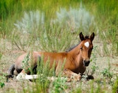Baby Animal Photography Baby Horse Wild Mustang Brown Sage Green Nature Photography Fine Art Print, Country Decor Wildlife Photo colt foal