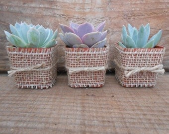 20 Succulent Favors Wrapped In Burlap And Tied With Twine, Rosettes, Great Favors, Table Decor, Gifts