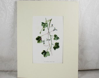 Vintage Mounted Ivy-Leaved Toad-Flax Floral Bookplate