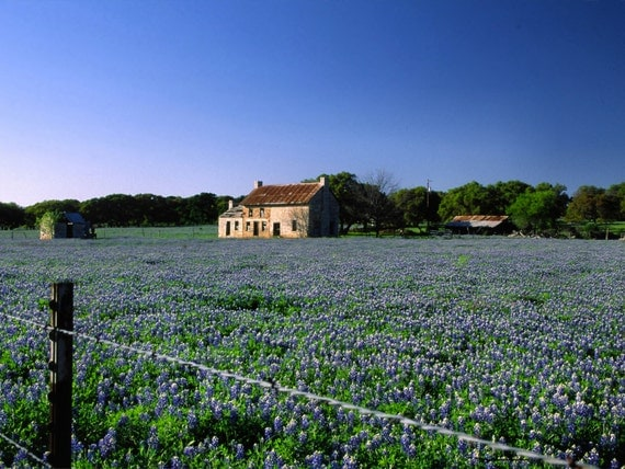 Fine Art Print, 'Sapphire Meadow' of Texas Bluebonnets, near Marble Falls, Texas (IDTX0264)