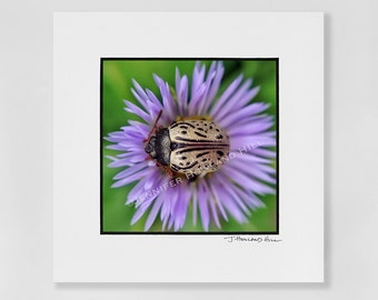 """An ornate beetle with a sense of style and love of asters as a 3x3"""" photographic print in a 5x5"""" mat, frames available"""
