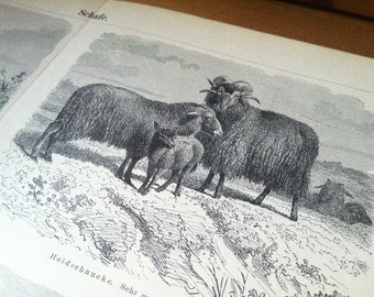 Sheep Antique Original 1896 Lithograph from Vintage Dictionary OOAK One of a kind