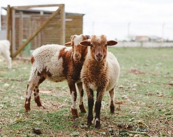 Sheep Photography, Sheep Art, White Brown, Golden Brown, Nature, Nursery Art, Farm Animal Print, Green Grass, Sheep Animal Print, Baby Sheep