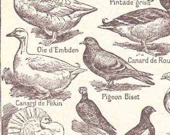 Beautiful Antique French Print 1920s Book Page Engraved Ilustrations French Birds Ducks