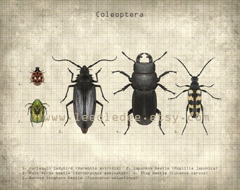 Coleoptera Entomology Print - Types of Beetles - Vintage Style Original Photo Illustration - Nature Specimen Texture Science Insect Wall Art