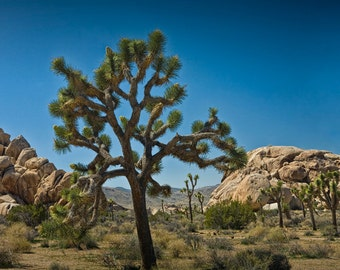 Joshua Trees in California's Joshua Tree National Park No.340 - A Landscape Photograph