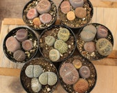 12  MIXED LITHOPS Living Stones succulent pebble plant  succulents make great pets+