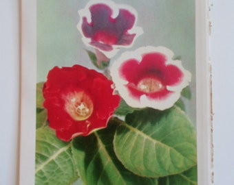 Vintage 1960s  Richly Colored Red White Gloxinias Flower Book Plate Photograph