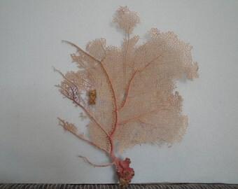 "11.2"" x 13.5"" Bahama Pink Sea Fan Fish Tank Seashells Reef Coral"