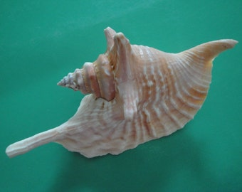 "Sea Shell Seashells 4.8"" Strumbus Gallus Rooster Conch Shell Pink Color"